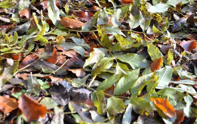 Asken fäller sina löv först.