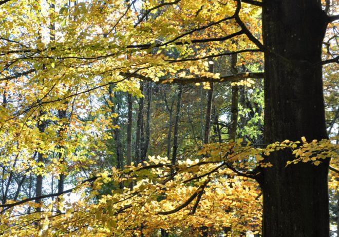 Boken får vackert kopparfärgade löv om hösten.