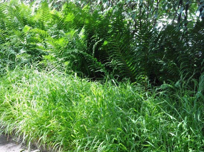 Ormbunkar trivs i skugga och fuktig jord.