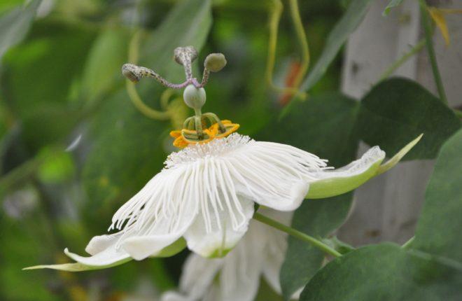 Passionsblomman har en fantastiskt konstruerad blomma.