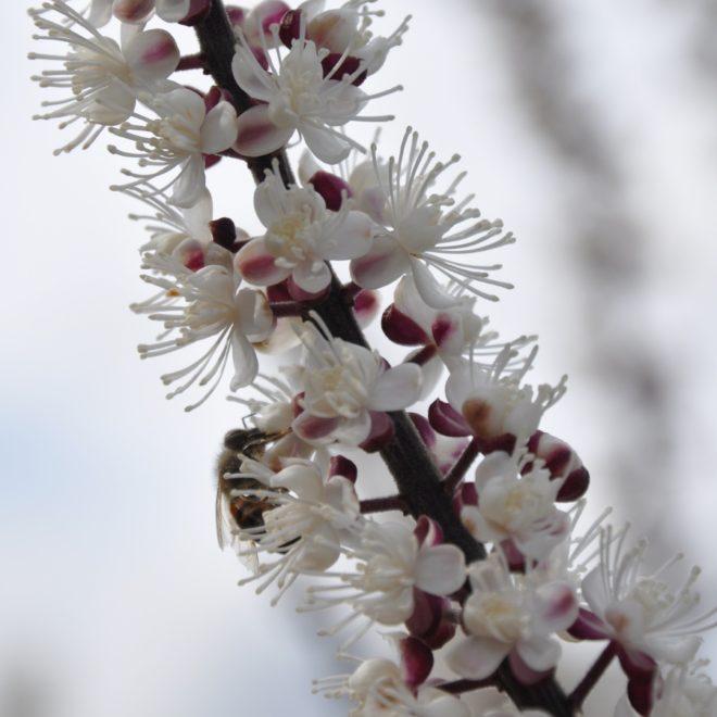 Silveraxen blommar mycket sent på säsongen.