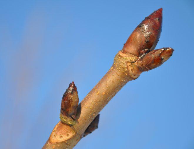 Knopparna tål frost när växten invintrat rätt.