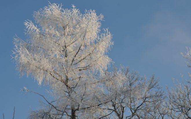 Rimfrost i grenarna skadar inte växten.