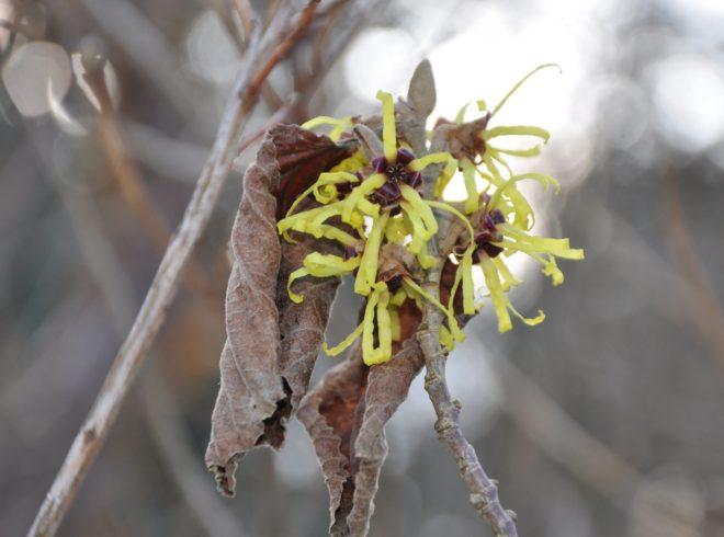 Trollhasselns blommor slår ut mitt i vintern.