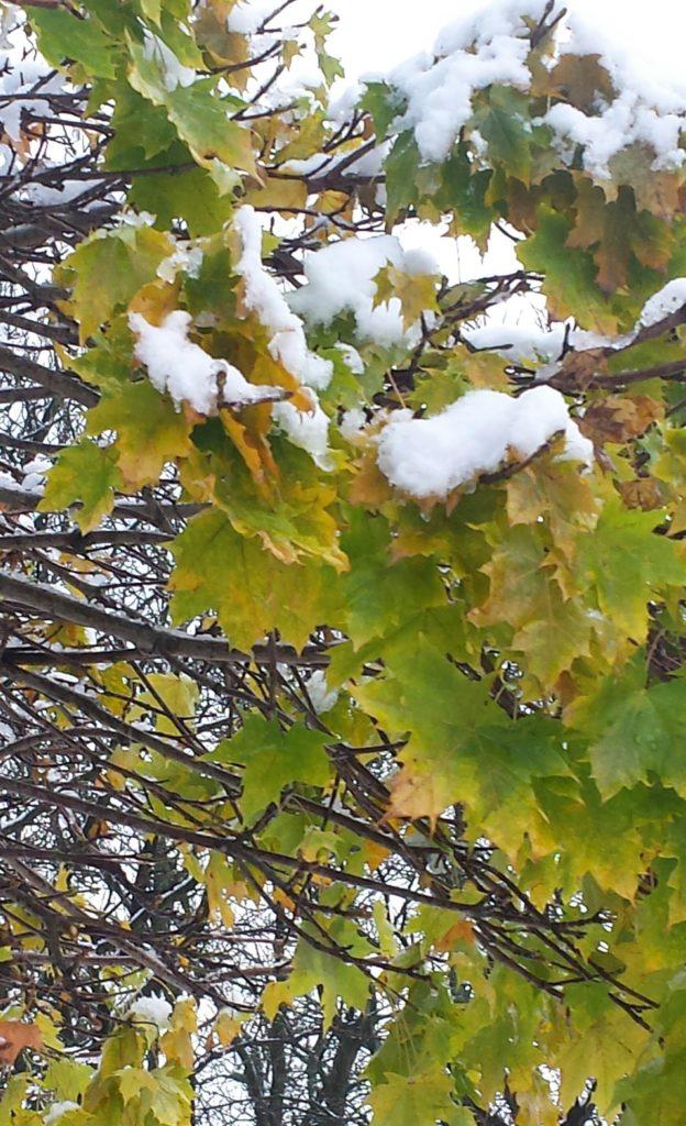 Trots att snön faller innan löven trillat av klarar sig skotten.