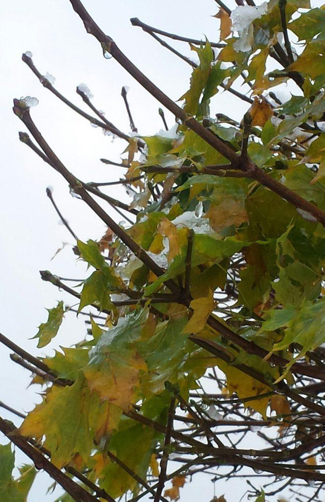 Lönn med tidig frost i grenarna.