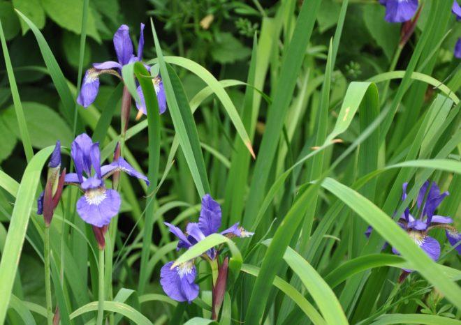 Iris är tåliga och lättskötta perenner.