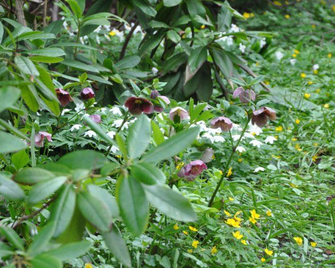 Rhododendron är en surjordsväxt och julrosen vill ha kalkhaltig jord.
