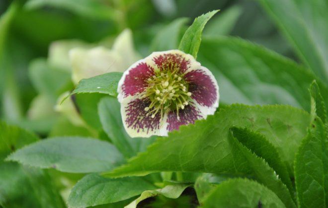 Julrosor blommar innan de flesta andra växter tittar upp ur jorden.
