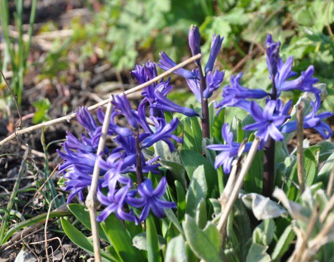 Julens hyacinter får nytt liv i rabatten.