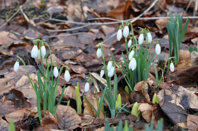 Snödropparnas lökar kan planteras när jorden är fuktig för att inte torka ut.