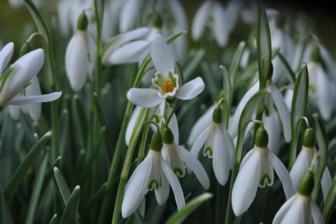 Svagt doftande snödroppar förebådar vårens ankomst.