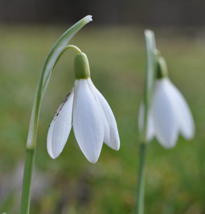 Den vanliga snödroppen är förvildad i Sverige och växer ibland ute i skogen.