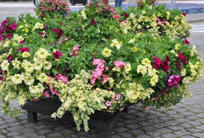 Hängande växtsätt är ett måste för ampelplanteringar.