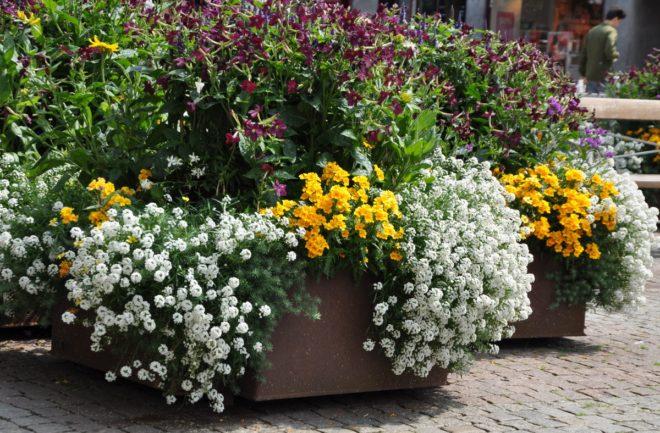 Hängande växter placeras intill krukkanten.
