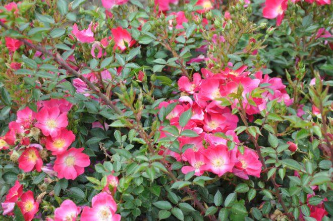 Marktäckande rosor är tåliga och rikblommande över hela säsongen.