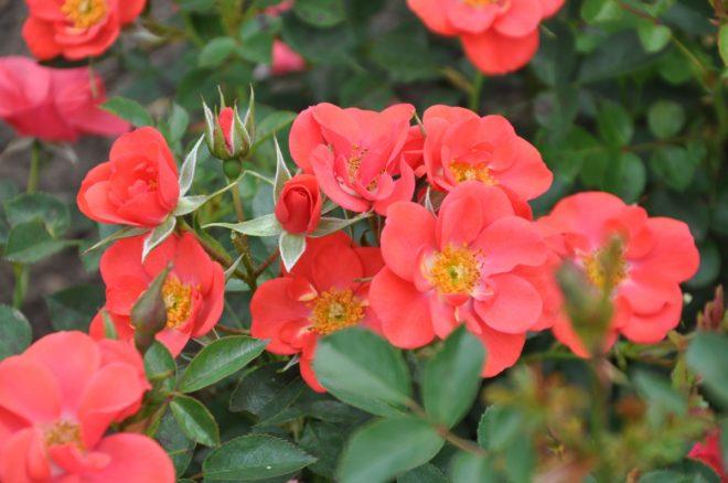 Poulsen Roser har utvecklat många marktäckande rosor.