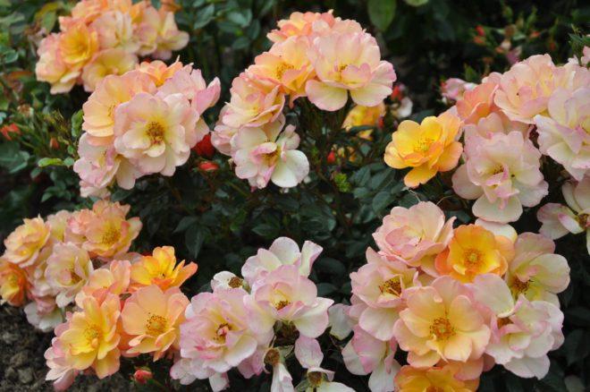 Linnaeus är en hög marktäckande ros i gula färger.