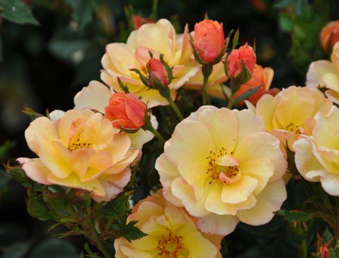 Marktäckande rosor brer ut sig längs marken.