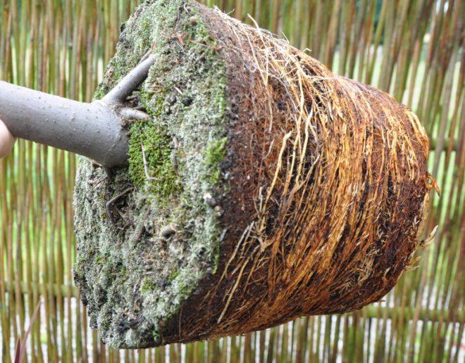 Fikonträdets rötter har nu helt fyllt krukan och det är dags att plantera om.