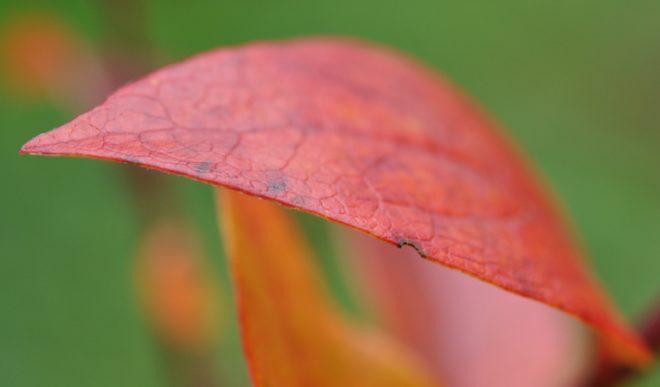 Höstfärgen i blåbärsplantorna är stark.