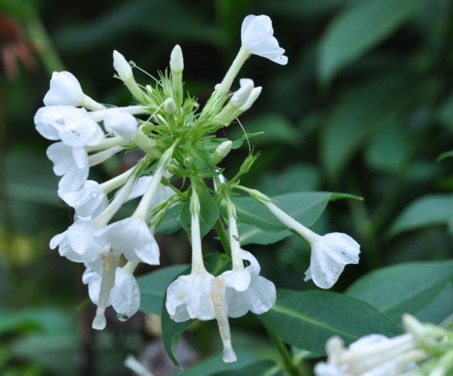 Flox som doftar är ett måste i varje trädgård med en fuktigare rabatt.