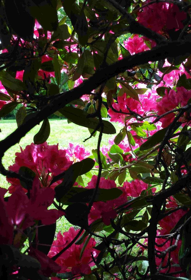 En blommande rhododendron passar i utkanten av woodlandet där den får lite sol.