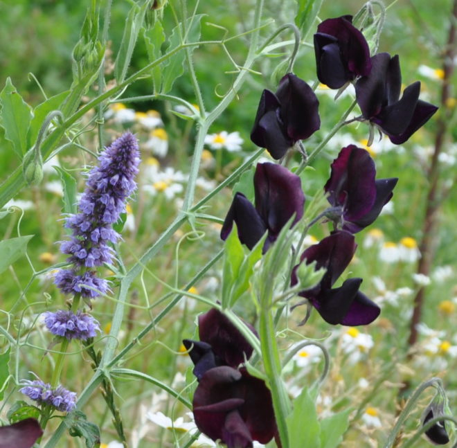 Sammetsglänsande och mörkt svartlila luktärten 'Almost Black'.
