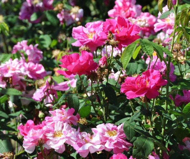 Randiga rosor härstammar från 'Rosa Mundi'.