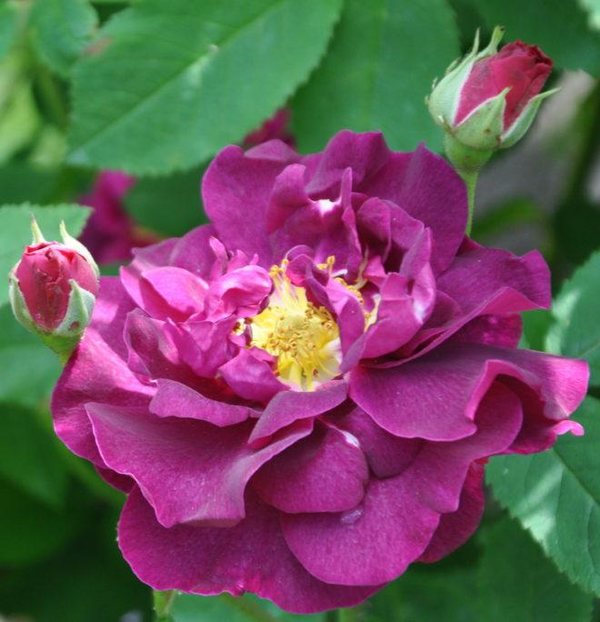 Rosa Tuscany är en mörkt sammetsröd ros med platta blommor.