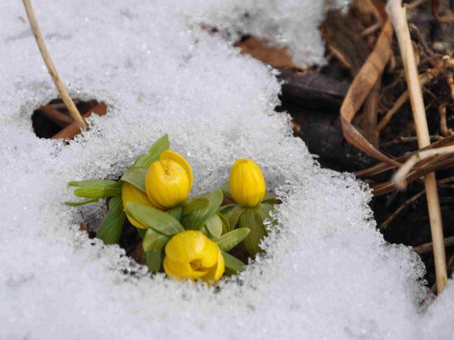 Vintergäcken blommar redan för fullt under buskagen.