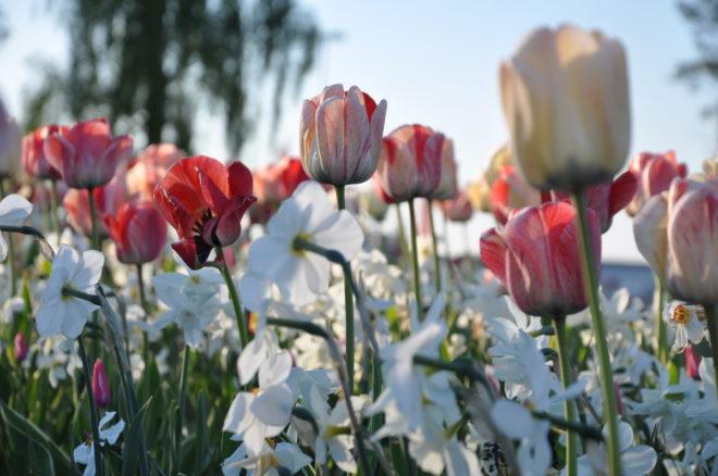 Tulpaner och narcisser blommar samtidigtom man väljer rätt sorter i blandningen.