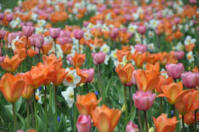 Genom att mixa arter med överlappande blomningstider skapas långvarigt intressanta lökplanteringar.