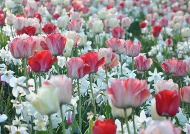 Tulpaner och narcisser i en skön mix.