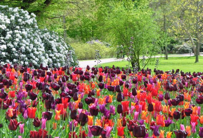 Tulpaner och rhododendron i smakfull kombination i Sofiero slottspark.