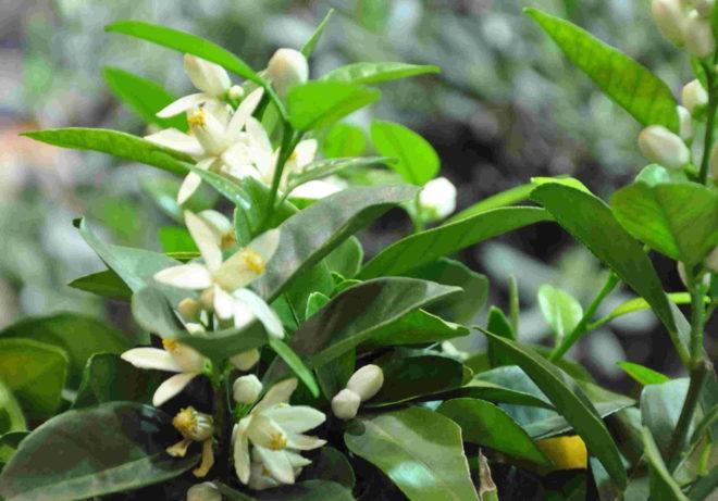 Citrusträd börjar blomma när ljuset återvänder och temperaturen stiger.