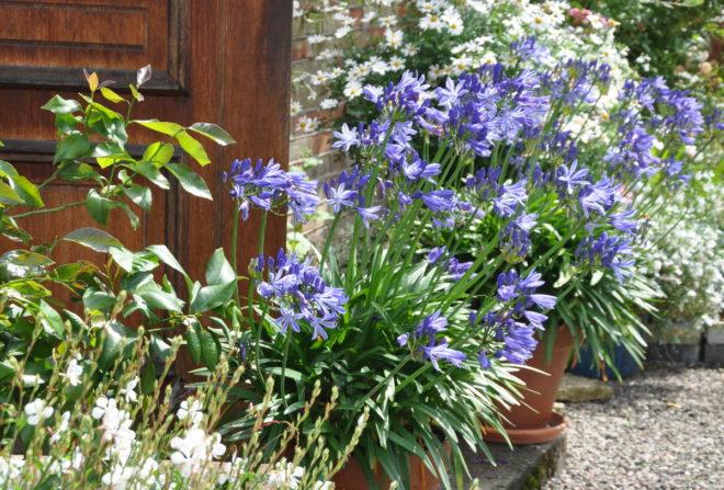 Agapanthus är en växt som gillar värme.