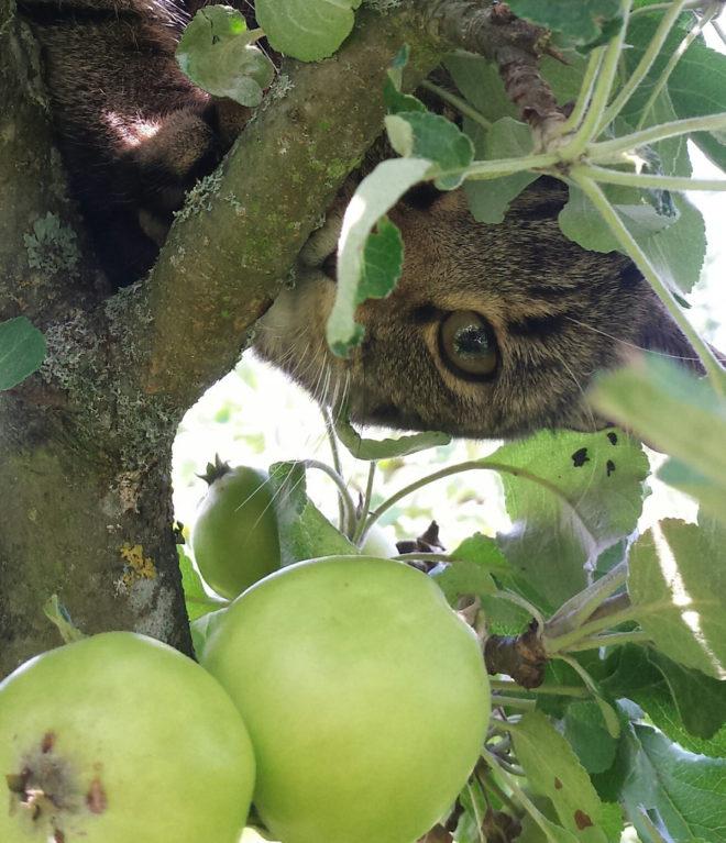 Aska är en busig katt i äppleträdet.