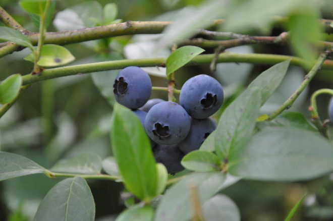 Hybridblåbär är lätta att odla och skörda.