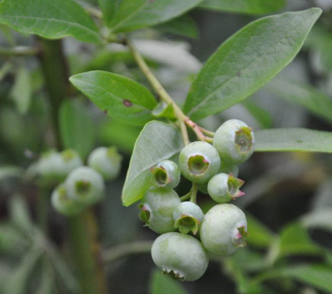 Amerikanska jätteblåbär är trevliga trädgårdsväxter.