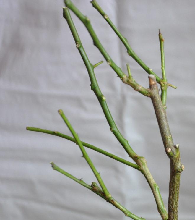 Citronträdet fäller blad när ljuset blir för svagt. Tänd växtbelysning!