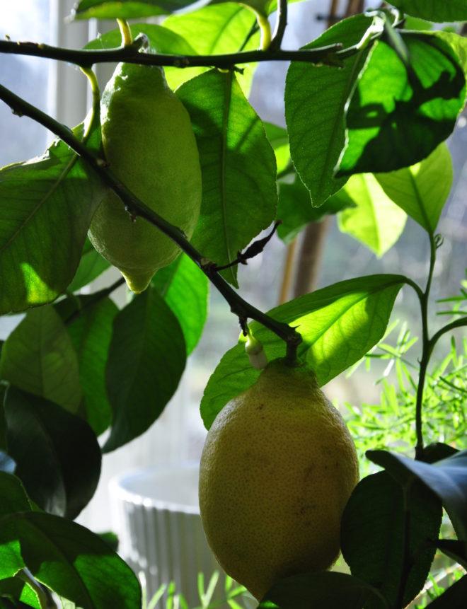 Citroner utvecklas långsamt.
