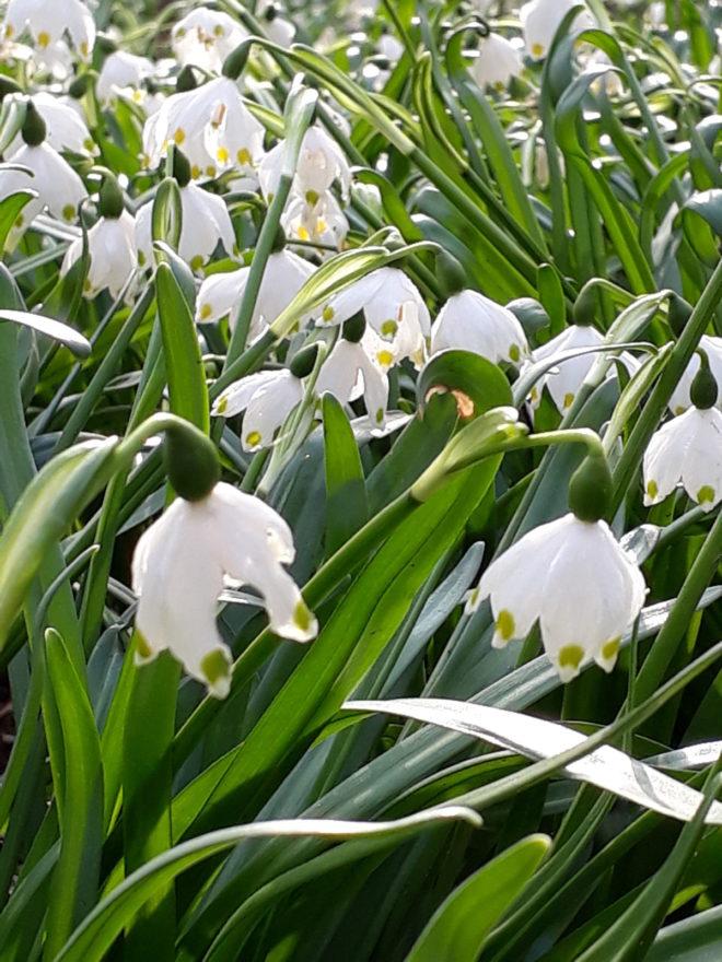 Snöklockans blomning infaller strax efter snödroppens.