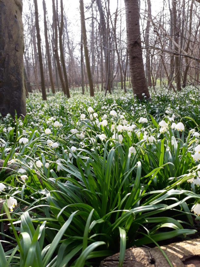 Vårblommande bestånd av klosterliljor ute i lundmiljö.