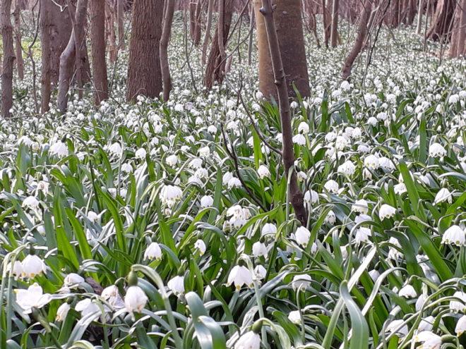 Snöklocka i mängder i ett naturligt bestånd i woodland.