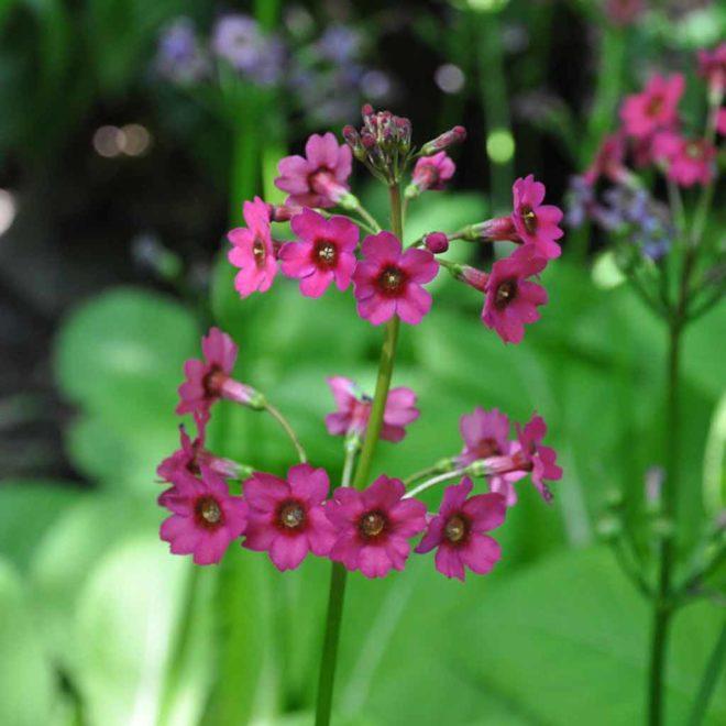 Den japanska vivan blommar länge med blommor i flera våningar.