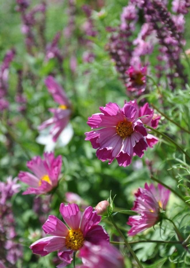 Rosenskäran är en lättodlad sommarblomma som du sår från frö.