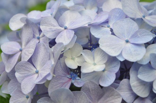 Hortensians blommor är mestadels sterila.