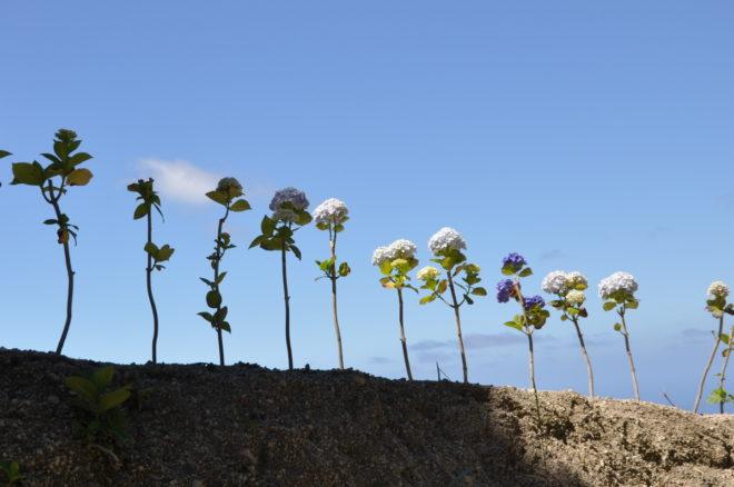 Hortensian är en vanlig dikesväxt på Azorerna.