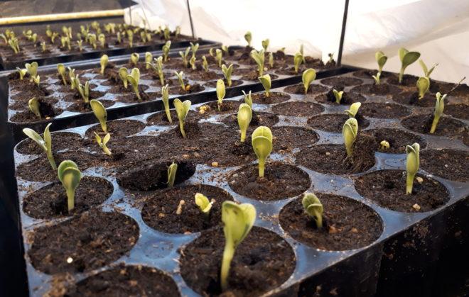 Kronärtskockor som precis kommit upp står på förkultivering i växthus.
